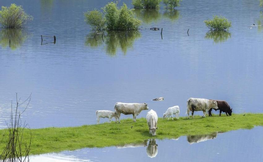 Наводнение, река, коровы
