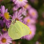Лимонница, сентябрины, осень, фото