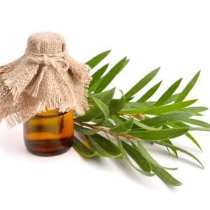 čajovník esenciálny olej cptg