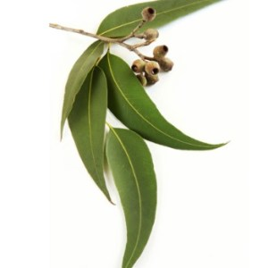 Eukalyptus esencialny olej