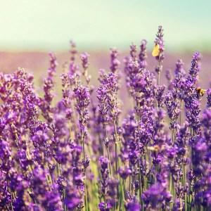 Elixr lavendli õli