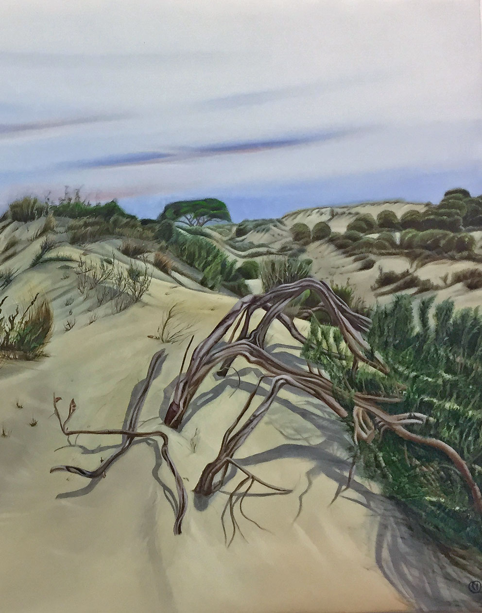 Pine tree left by the dune