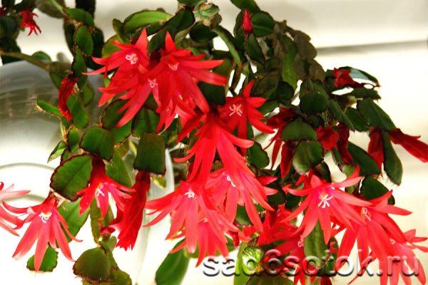 Выносливые и неприхотливые создания: лесные кактусы ...