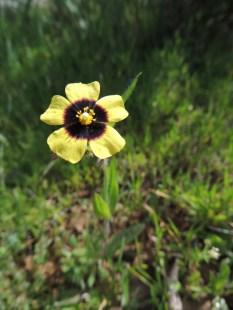Tuberaria lignosa (probably!)