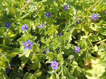 Scarlet Pimpernel (blue form)