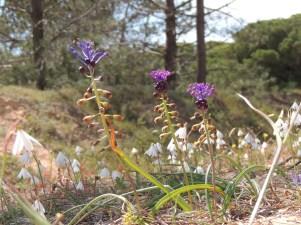 Tassel Hyacinth with Snowflakes behind