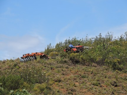clearing the cistus