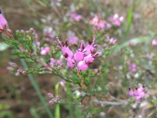 Erica australis (Spanish Heath)