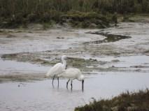Egret following Spoonbill