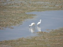 Spoonbill with its Egret shadow
