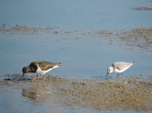 As the Turnstone moved on, his shadow investigated the hole