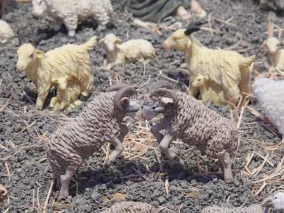 Rutting Sheep