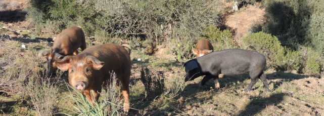 Two types of Iberian pigs