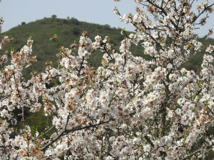 Probably my last Almond Blossom of the season