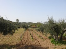 Vines and olive trees