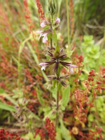 Field Woodwort I think, surrounded by a Rumex (Sorrel) either Red Sorrel or Red Dock