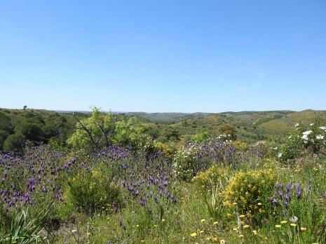 Lavender, cistus and gorse everywhere