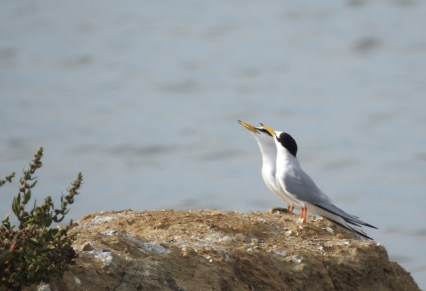Little Terns