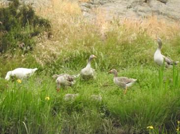 Spot the goslings