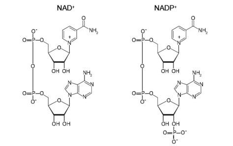 NAD oraz NADP