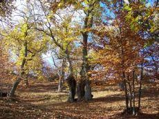 バッカネッラの栗林