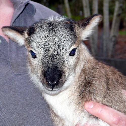 Koala Lamb?