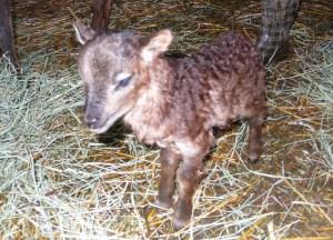 Newborn Lamb #1