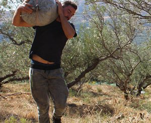 Erntehelfer trägt Sack zur Mühle um daraus Kreta Olivenöl zu extrahiern.