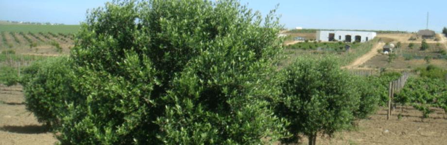 olivar8