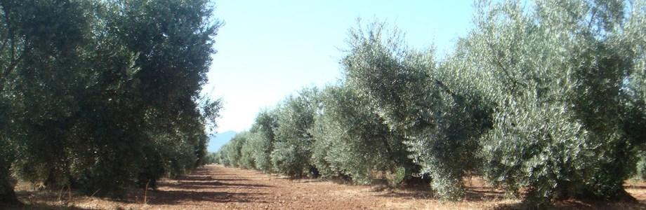 olivar_ecologico2