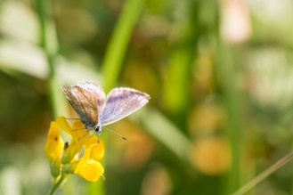 A common blue butterfly, with somewhat tattered wings.
