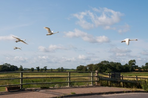 Unexpected flypast from a small group of swans over Ludham Bridge.