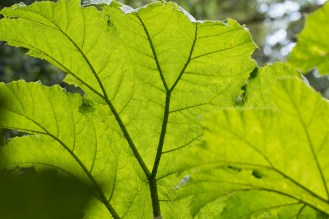 Underneath the massive leaves of a Gunnera plant.