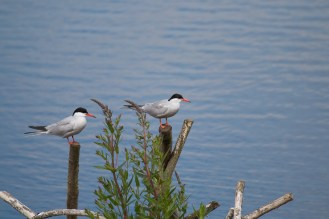 Two Common Terns surveying the watery landscape from their viewpoints.