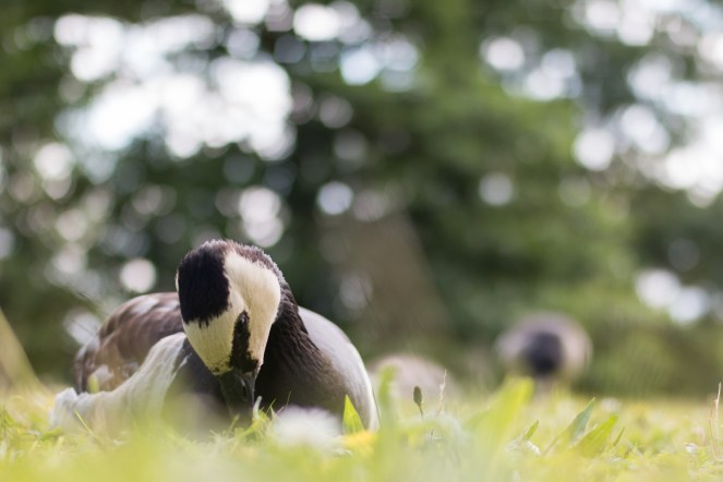 Barnacle goose sitting down in the grass. (Photos from Pensthorpe Natural Park)