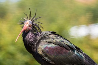 The wacky hairstyle of the Northern Bald Ibis. (Photos from Pensthorpe Natural Park)