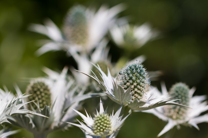 Sea Holly flowers coming out in the gardens of Sheringham Park. (Photos from National Trust Sheringham Park.)