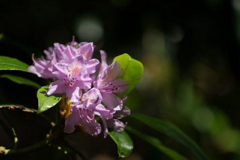 A shaft of sunlight catching the flowers of a pink rhododendron. (Photos from National Trust Sheringham Park.)