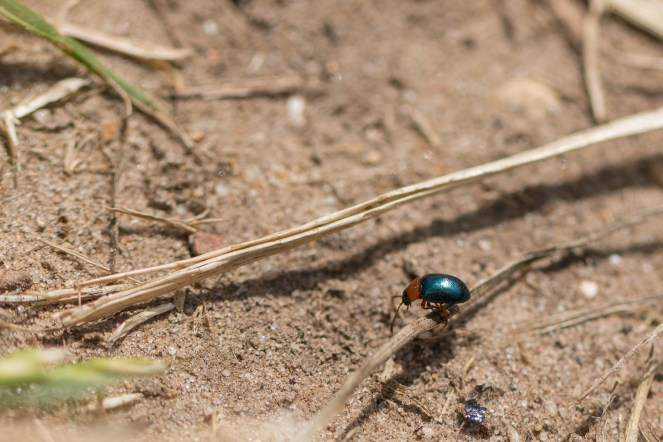 Gastrophysa polygoni - a small green and orange leaf beetle - having a wander along the path in the sun. (Photos from National Trust Sheringham Park.)