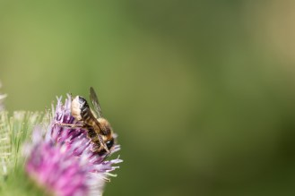 A Leafcutter bee on a Burdock flower. Photos from RSPB Fen Drayton Lakes nature reserve in Cambridgeshire.