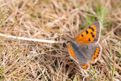 A Small Copper butterfly basking in the sun on the walk down from the church to Whipsnade Heath. Photos from a walk around National Trust Dunstable Downs and the Whipsnade Estate SSSI's, in the Bedfordshire area of Chilterns AONB.