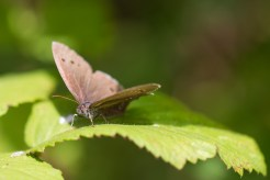A Ringlet butterfly catching some sunlight in one of the woodland rides of Twywell Plantation. Photos from Wildlife Trusts Twywell Hills and Dales nature reserve in Northamptonshire, UK.