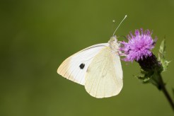 A Large White butterfly drinking nectar from a thistle flower. Photos from Wildlife Trusts Twywell Hills and Dales nature reserve in Northamptonshire, UK.