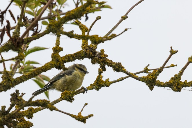 Juvenile Bluetit perched on a lichen covered branch. Photos from an early morning walk round Summer Leys nature reserve in Northamptonshire, UK.
