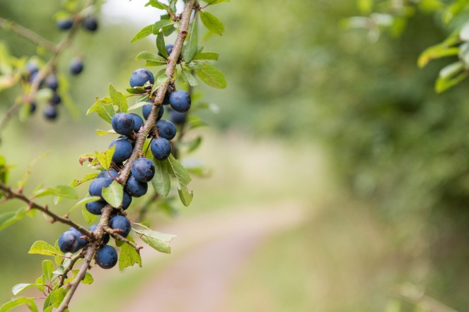 Sloes ripening on the branches of a Blackthorn. Pictures from a walk round most of the Lyveden Way.