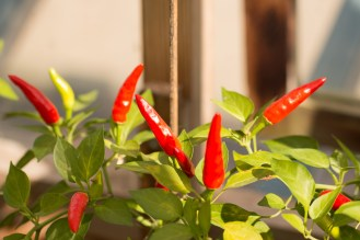 Striking bright red chili peppers. Photos from RHS Harlow Carr in North Yorkshire.