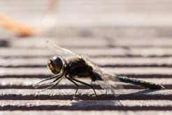 Another view of a male black darter dragonfly basking in the warm afternoon sun. Photos from Malham Tarn in North Yorkshire.