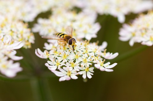 A hover fly feeding on the flower head of cow parseley. Photos from Wildlife Trusts Summer Leys nature reserve in Northamptonshire, UK.