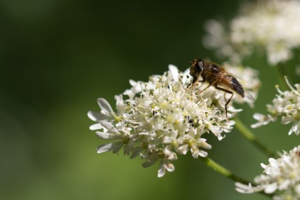 A drone fly hoverfly feeding on an umbellifer flower. A woodland double bill for day 26 of #30DaysWild. Headed out to Wildlife Trusts Short and Southwick Woods.
