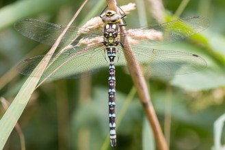A Southern Hawker dragonfly, resting for a change. Photos from Holme Fen on July 14th 2016.